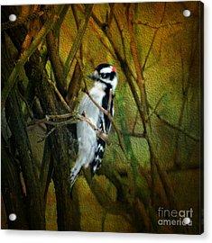 Downy Woodpecker Acrylic Print by Judy Palkimas