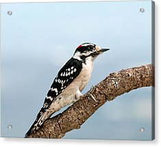 Acrylic Print featuring the photograph Downy Woodpecker Spring 2016 1 by Lara Ellis