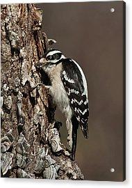 Acrylic Print featuring the photograph Downy Woodpecker's Secret Stash by Lara Ellis