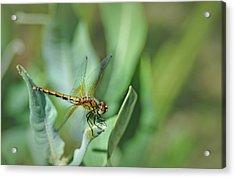Dragon Fly 1 Acrylic Print by Rick Mosher