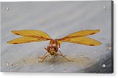 Dragon Fly Hanging Around Acrylic Print
