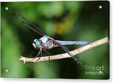 Dragonfly Portrait Acrylic Print