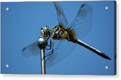 Dragonfly 1 Acrylic Print by Maria  Wall