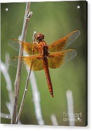 Dragonfly 10 Acrylic Print