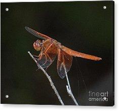 Dragonfly 11 Acrylic Print