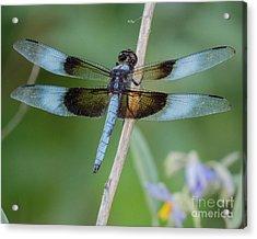 Dragonfly 12 Acrylic Print