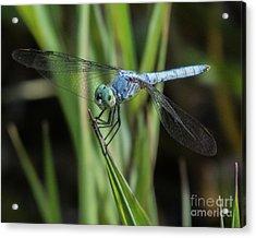 Dragonfly 13 Acrylic Print