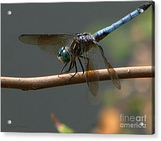 Acrylic Print featuring the photograph Dragonfly 2010 by Roxy Riou