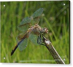 Dragonfly 8 Acrylic Print