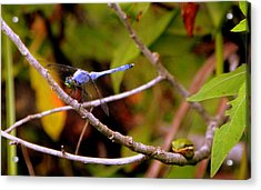 Dragonfly And Tree Frog Acrylic Print