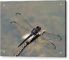 Dragonfly Black Acrylic Print by Lisa Stanley