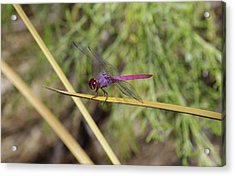 Dragonfly Acrylic Print by David Rizzo