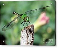 Dragonfly In The Flower Garden Acrylic Print by Carol Groenen