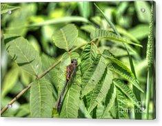 Dragonfly Acrylic Print by Jimmy Ostgard