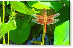 Dragonfly Acrylic Print by Mark Barclay
