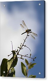 Dragonfly On A Limb Acrylic Print by Dustin K Ryan