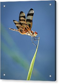 Dragonfly On Blue Acrylic Print