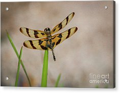 Dragonfly On Grass Acrylic Print