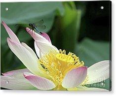 Dragonfly On Lotus Acrylic Print by Sabrina L Ryan
