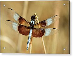 Acrylic Print featuring the photograph Dragonfly On Reed by Sheila Brown