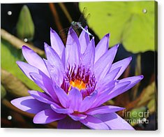 Dragonfly On Water Lily Acrylic Print by Carol Groenen