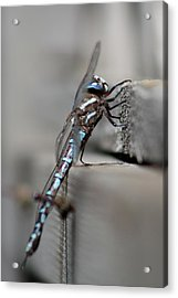 Acrylic Print featuring the photograph Dragonfly Pause by Cathie Douglas