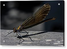 Dragonfly Acrylic Print by Rainer Kersten