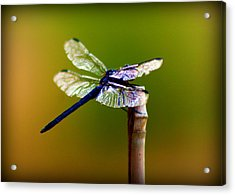 Dragonfly Acrylic Print by Susie Weaver