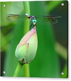 Dragonfly Va 1 Acrylic Print