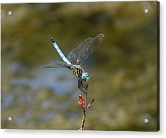 Dragonfly3 Acrylic Print by Bruce Miller
