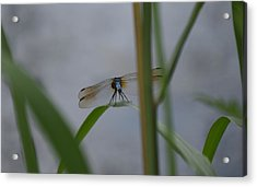 Dragonfly6 Acrylic Print by Bruce Miller