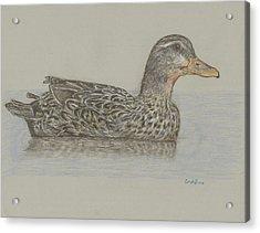 Drake Duck Acrylic Print by Cynthia  Lanka