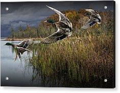 Drake Mallard Ducks Coming In For A Landing Acrylic Print