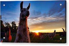 Drama Llamas Acrylic Print