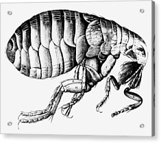 Drawing Of A Flea Acrylic Print by