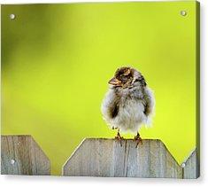 Dream Sparrow Acrylic Print by Betty LaRue