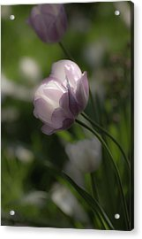 Dream Tulip Acrylic Print