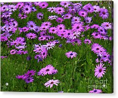 Dreaming Of Purple Daisies  Acrylic Print