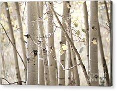 Dreamy Aspen Woodland Acrylic Print by Andrea Hazel Ihlefeld