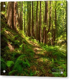 Dreamy California Redwoods Acrylic Print by Matt Tilghman