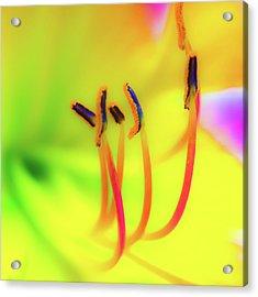 Dreamy Daylily Acrylic Print