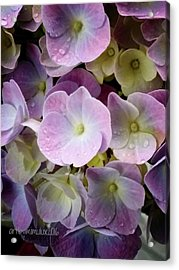 Acrylic Print featuring the photograph Dreamy Hydrangea by Mimulux patricia no No