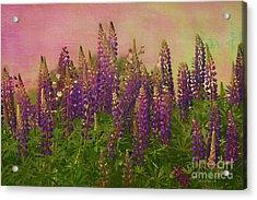 Dreamy Lupin Acrylic Print