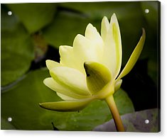 Dreamy Water Lilly Acrylic Print