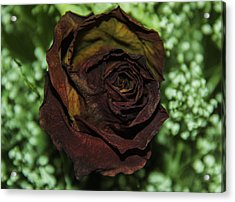 Dried Red Rose Acrylic Print by Paul Shefferly