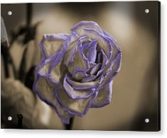 Dried Rose In Sienna And Ultra Violet Acrylic Print