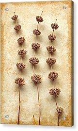 Dried Sage Acrylic Print