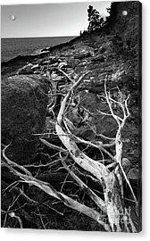 Driftwood Tree, La Verna Preserve, Bristol, Maine  -20999-30003 Acrylic Print