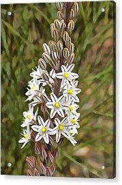 Drimia Maritima Acrylic Print by Tracey Harrington-Simpson