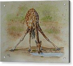 Drinking Giraffe Acrylic Print